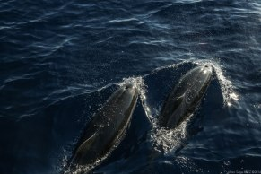 Blue and white dolphins mediterranean at sunset photographed by Serge Briez, ©2014 Cap médiations