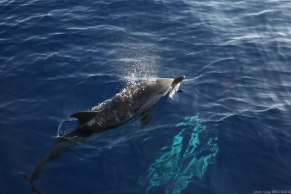 Blue and white dolphins Mediterranean photographed by Serge Briez, ©2014 Cap médiations