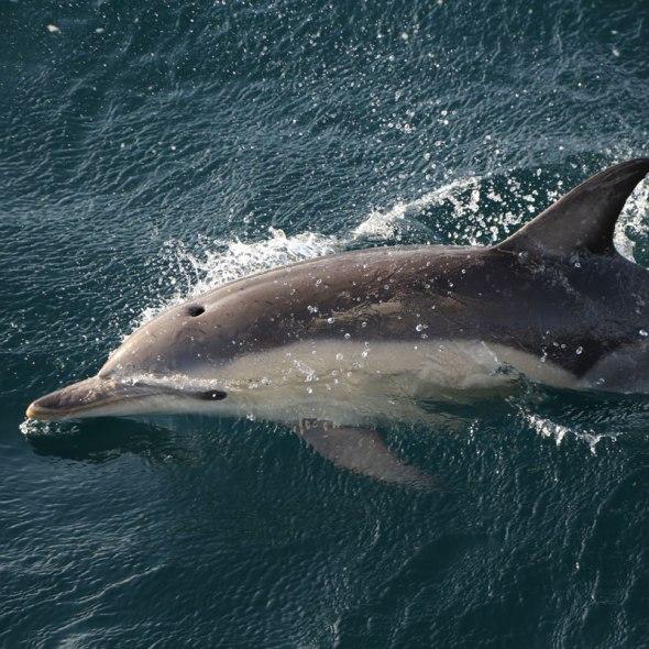 mediterranean common dolphin (Delphinus delphis) photographed by Serge Briez, ©2014 Cap médiations