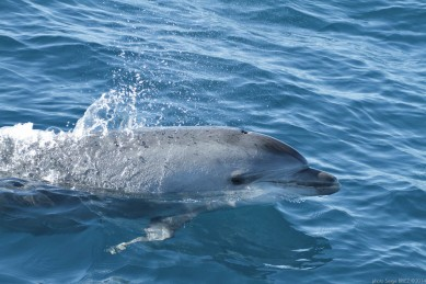 Bottlenose dolphin Mediterranean (Tursiops Truncatus) photographed by Serge Briez, ©2014 Cap médiations
