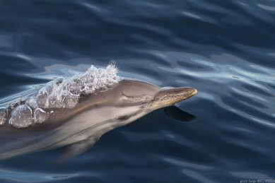 Blue and white dolphin Mediterranean ( Stenella Coeruleoalba) photographed by Serge Briez, ©2014 Cap médiations