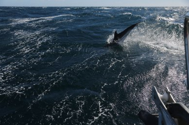 Mediterranean Blue and white dolphins photographed by Serge Briez, ©2014 Cap médiations