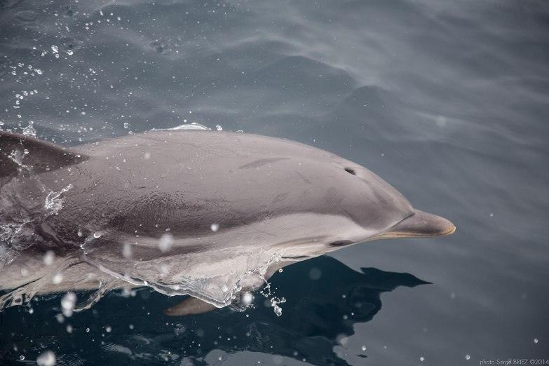 Blue and white dolphin Mediterranean ( Stenella Coeruleoalba) photographed by Serge Briez, ©2014 Cap médiations